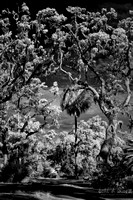 Either Monochrome (B&W) or Faux Color Infrared Photography of 150 year old Live Oak Trees in Savannah, Georgia.