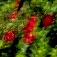 Deep red berry bushes surrounded by gright green leaves and grasses