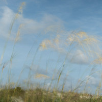 Sea Oats Blowing in the wind on top of the sand dunes
